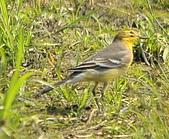 黃頭鶺鴒〈雌〉:DSC_9896.JPG