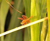 蜻蜓:DSC_8745.JPG