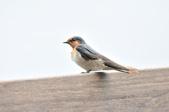 洋燕  Pacific Swallow   :DSC_7103.JPG