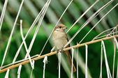 紅尾伯勞Brown Shrike  :DSC_6449.JPG