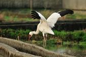 白鶴  Siberian Crane :DSC_0034.JPG