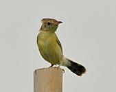 關渡之黃頭扇尾鶯:DSC_0382.JPG
