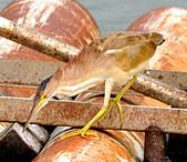 黃小鷺:DSC_4910.JPG