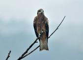 老鷹   Black kite :DSC_1410.JPG