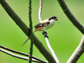 棕背伯勞 Black-headed Shrike   :DSC_3296.JPG