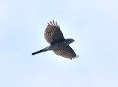 日本松雀鷹Japanese Lesser Sparrow Hawk :DSC_9168.JPG