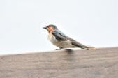 洋燕  Pacific Swallow   :DSC_7107.JPG