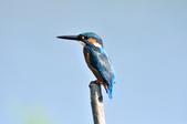 翠鳥  Common Kingfisher  :DSC_2472.JPG