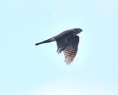 日本松雀鷹Japanese Lesser Sparrow Hawk :DSC_9170.JPG