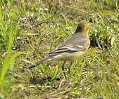 黃頭鶺鴒〈雌〉:DSC_9897.JPG