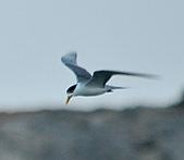 鳳頭燕鷗:DSC_7330.JPG