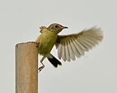 關渡之黃頭扇尾鶯:DSC_0383.JPG