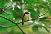 黃眉黃鶲Narcissus Flycatcher :DSC_0645.JPG