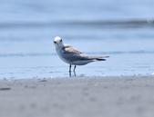 小燕鷗  Little Tern  :DSC_4333.JPG