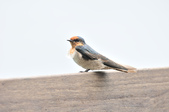 洋燕  Pacific Swallow   :DSC_7108.JPG