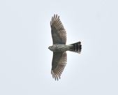 日本松雀鷹Japanese Lesser Sparrow Hawk :DSC_9196.JPG