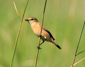 黑喉鴝Common Stonechat  :DSC_9465.JPG