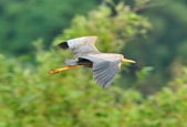 紫鷺     Purple Heron:DSC_0930.JPG