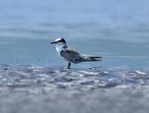 小燕鷗  Little Tern  :DSC_4336.JPG