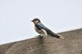洋燕  Pacific Swallow   :DSC_7111.JPG