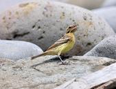 金鵐 Yellow-breasted Bunting  :DSC_6788.JPG