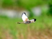 水雉Pheasant-tailed Jacana :DSC_8919.JPG