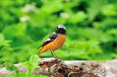 黃尾鴝 Daurian Redstart  :DSC_2464.JPG