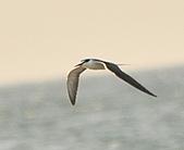 白眉燕鷗:DSC_6762.JPG