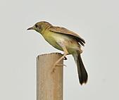 關渡之黃頭扇尾鶯:DSC_0385.JPG