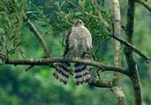 北雀鷹  Northern Sparrow Hawk :DSC_1452.JPG