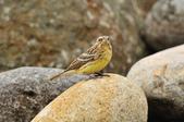 金鵐 Yellow-breasted Bunting  :DSC_7211.JPG