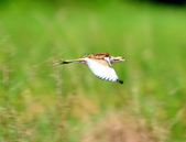 水雉Pheasant-tailed Jacana :DSC_8923.JPG