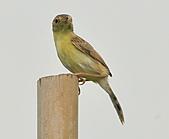 關渡之黃頭扇尾鶯:DSC_0386.JPG