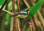黃眉黃鶲Narcissus Flycatcher :DSC_0767.JPG