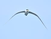 鳳頭燕鷗  Greater Crested Tern :DSC_9024.JPG