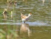 水雉Pheasant-tailed Jacana :DSC_9050.JPG