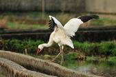 白鶴  Siberian Crane :DSC_0036.JPG