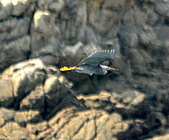 岩鷺:DSC_6251.JPG