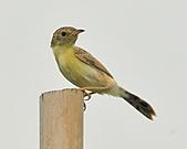 關渡之黃頭扇尾鶯:DSC_0387.JPG