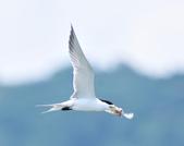 鳳頭燕鷗  Greater Crested Tern :DSC_9007.JPG