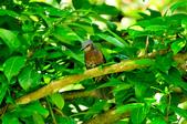 棕耳鵯Chestnut-eared Bulbul :DSC_7335.JPG