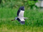 蒼鷺 Grey Heron     :DSC_5694.JPG