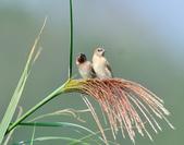 斑文鳥 Nutmeg Mannikin :DSC_6034.JPG