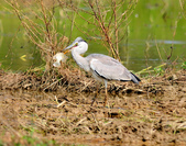 蒼鷺 Grey Heron     :DSC_5764.JPG