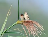斑文鳥 Nutmeg Mannikin :DSC_6035.JPG