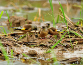 金翅雀  Oriental Greenfinch :DSC_0498.JPG