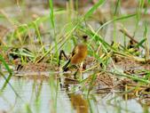 金翅雀  Oriental Greenfinch :DSC_0470.JPG