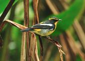 黃眉黃鶲Narcissus Flycatcher :DSC_0768.JPG