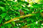 棕耳鵯Chestnut-eared Bulbul :DSC_7336.JPG