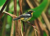 黃眉黃鶲Narcissus Flycatcher :DSC_0769.JPG